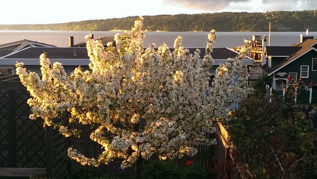 blossoming crab apple